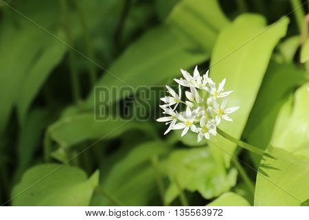 Blossoms Of The Spice Plant Bear Leek (allium Ursinum)