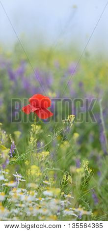 red poppy and wild flowers in summer time
