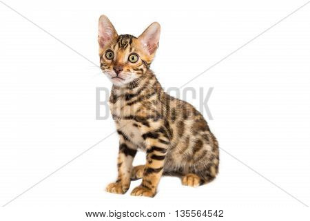 Isolated bengal domestic small kitten sitting on white background in studio and looking at the left, copy space