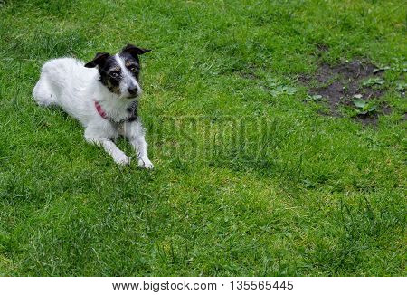 Jack Russell terrier cross dog with cute expression on face lying on grass with a bare patch. Copy space.