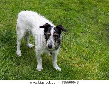 Jack Russell terrier cross dog with questioning look on face.