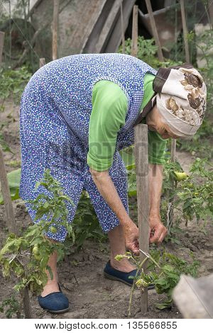 Senior woman working in the garden grows tomatoes