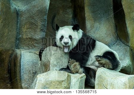 cute chinese giant panda on a rock