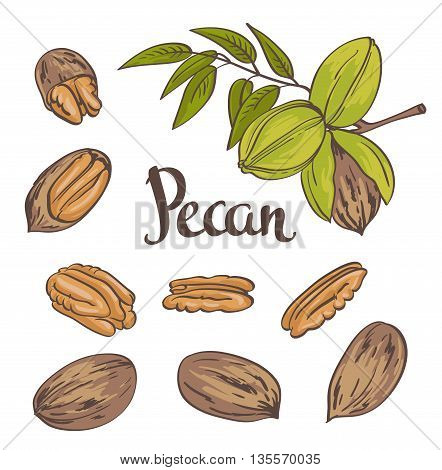 Green Pecan nuts with leaves and dried Pecan nuts isolated on a white background. Vector illustration.