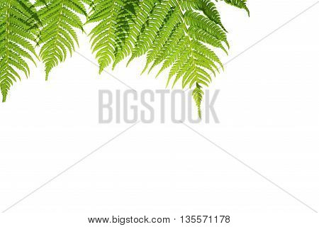 Fern branches hanging down. isolated on white background.