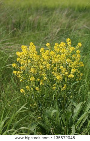 Barbarea Vulgaris, A Plant Commonly Called Herb Barbara