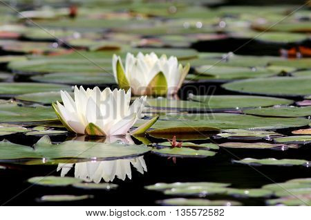 Fragrant Water Lily flowers (Nymphaea odorata) on a pond