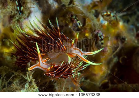 Hermissenda Crassicornis Nudibranch, Sea Slug