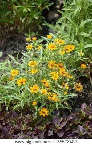 yellow Zinnia angustifolia flower in nature garden