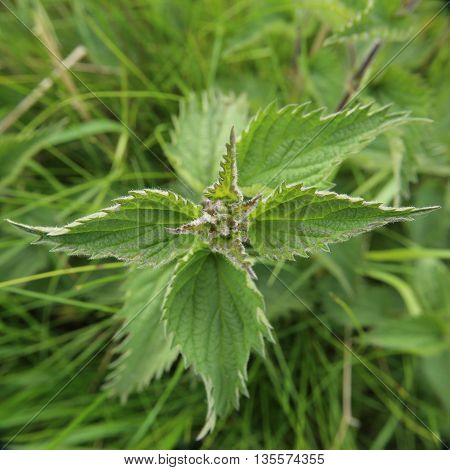 Unusual View Of Stinging Nettle (urtica Dioica), Wide Angle Macro Shot Directly From Above