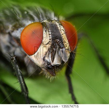 Common housefly face close portrait macro close-up