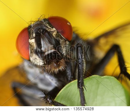 Common housefly face front portrait close-up macro
