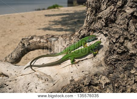 Green lizard in the wild sitting on a tree.