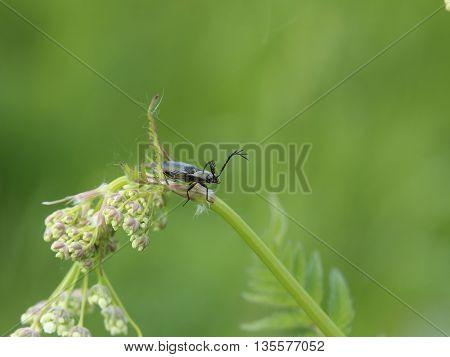 Spring beetle from genus Ctenicera on wild chervil (Anthriscus sylvestris).