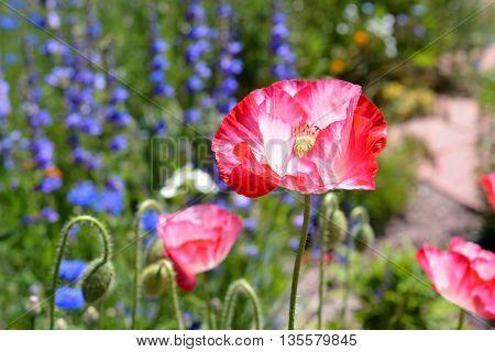 Pink Poppy Blooms in A Wildflower Field