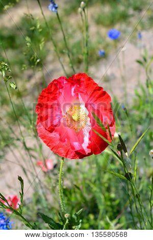 Deep Red Pink Poppy Flower Blooming in Field