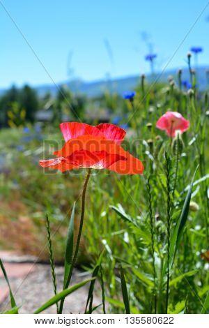 Colorful Poppy Flower Growing Tall in Field