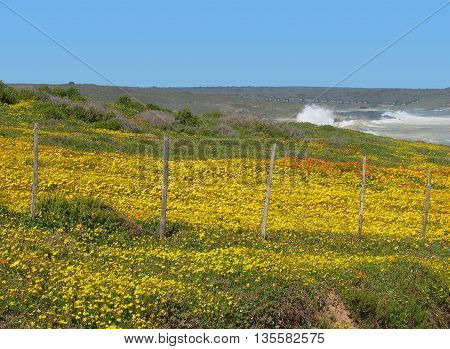 Spring Flowers, Grotto Bay Cape Town South Africa