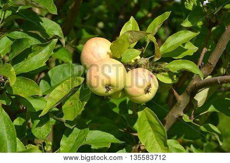 Bunch of ripe yellow apples. Autumn sun