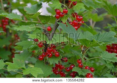 Redcurrant bush. Ripe harvest. The berries are red. Autumn
