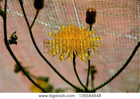 Dandelion flower in the shade of the grid from the sun