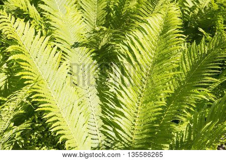 Structure of a background of green leaves of a fern