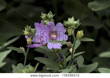 Malva sylvestris is also common mallow, mallow, cheeses, high mallow, and tall mallow, Zavet, Bulgaria