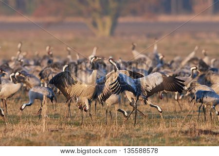Common cranes (Grus grus) dancing with vegetation in the background