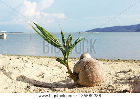 coconut that grows (young coco palm) near sea on the sand