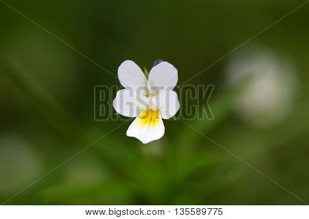 Flower of a wild field pansy (Viola arvensis)