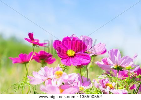 Summer field and sky with pink fresh cosmos flowers