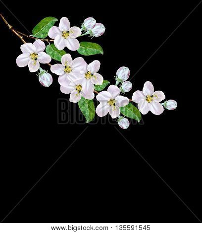Beautiful delicate white flowers of apple blossom isolated on black background. branch