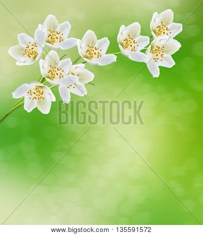 Spring landscape with delicate jasmine flowers. flora