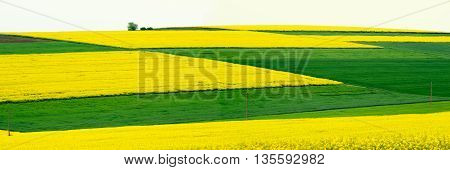 Panorama. Field with canola and young wheat.