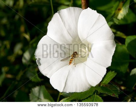 Bindweed (Convolvulus arvensis) is a creeping weed field.