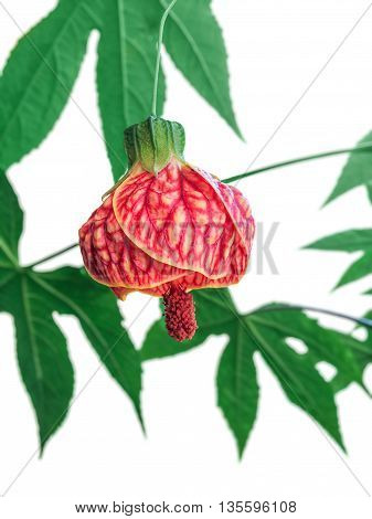 Flowering Maple plant or Chinese Lantern isolated over white background. This variety is called Tiger Eye.