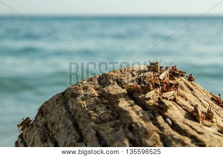 Plague of locusts on the black sea coast