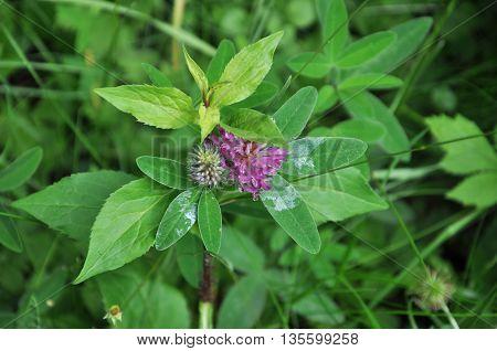 the emergence of the flower Bud marsh