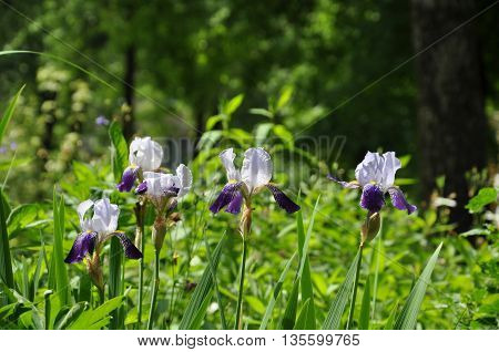 blue iris flowers in the garden for further design