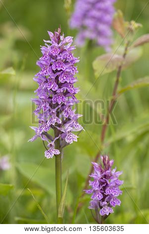 Two Leopard Marsh Orchid (Dactylorhiza majalis ssp praetermissa var junialis) flowering between the vegetation