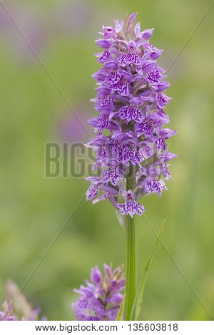 Southern Marsh Orchid (Dactylorhiza praetermissa) flowering in a Dune Valley