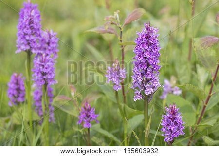 Group of Leopard Marsh Orchids (Dactylorhiza majalis ssp praetermissa var junialis) flowering between the vegetation