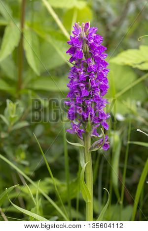 Southern Marsh Orchid (Dactylorhiza praetermissa) flowering between the vegetation in a Dune Valley