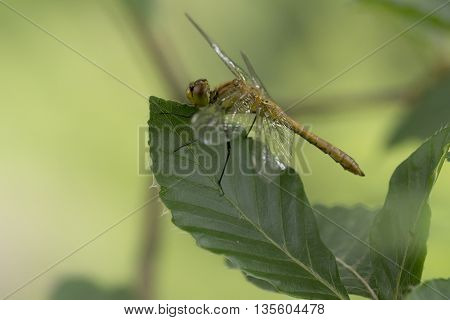 Ruddy Darter (Sympetrum sanguineum) male resting on a Leaf in an an Arboretum