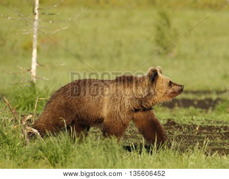 Eurasian Brown Bear (Ursus arctos arctos) In Kuusamo in Finland, near the Russian border.