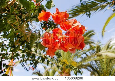 Blooming Bougainvillea. Bright colorful flowers. Natural tropical background with palm tree leaves. Tunisia.