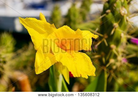 Yellow iris in sunlight. Natural background with showy flowers.