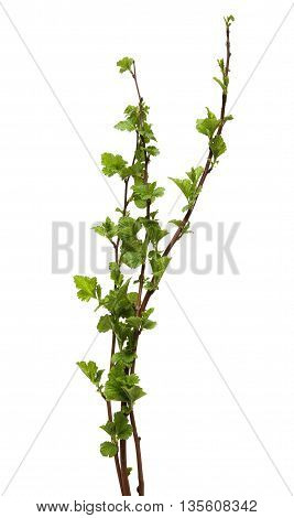 branch of poplar. Fresh spring tree branch with leaves isolated on a white background.