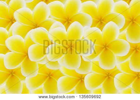 frangipani Background flora flower plumeria asia aloha