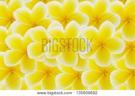 frangipani Background flora flower plumeria asia aloha
